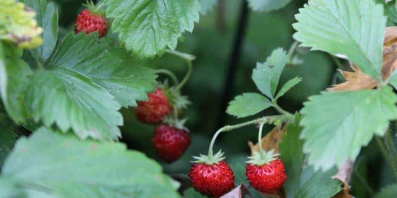 brug jordbær som bunddække
