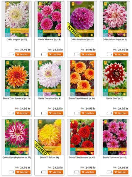 Køb de flotte Dahlia løg til en mangfoldig have