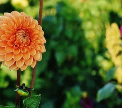 brug georginer i haven til smuk prydning