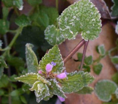 guide til at beskytte planterne mod frost i det tidlige forår
