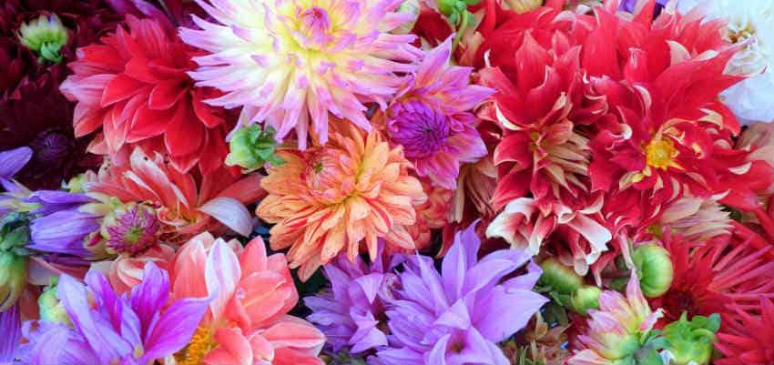 lav de flotte dahlia buketter med blomster fra haven