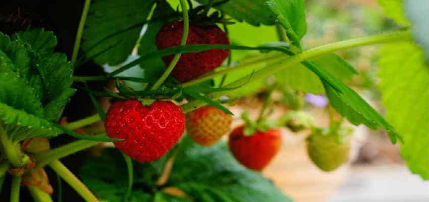 jordbær er nemme at holde
