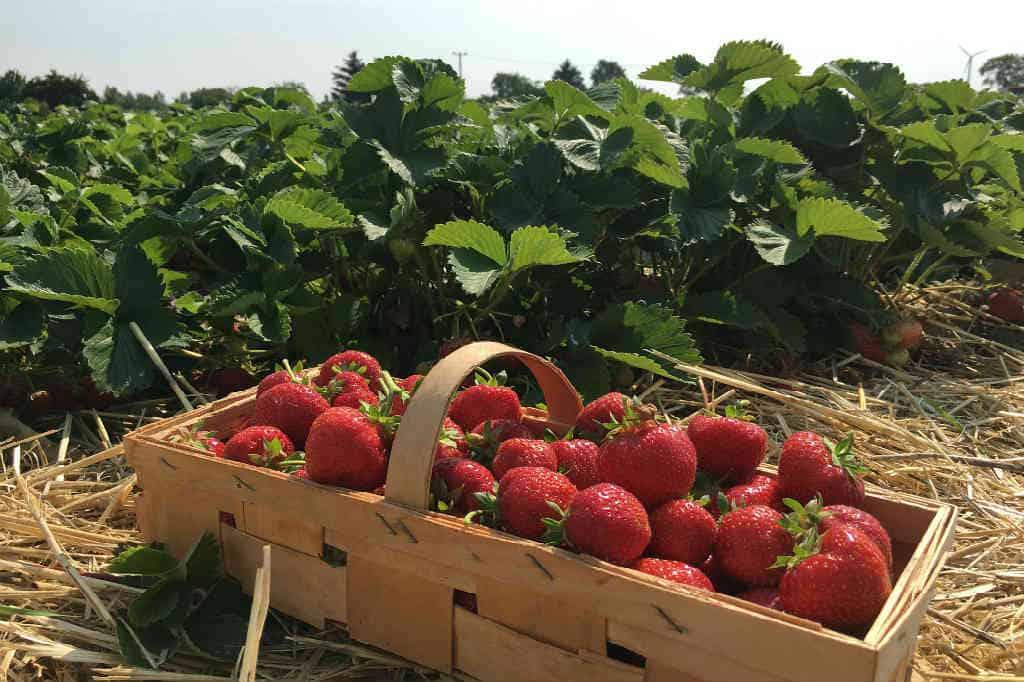 hvordan du dyrker jordbær rigtigt