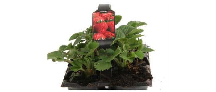 køb de gode jordbær sorter til haven