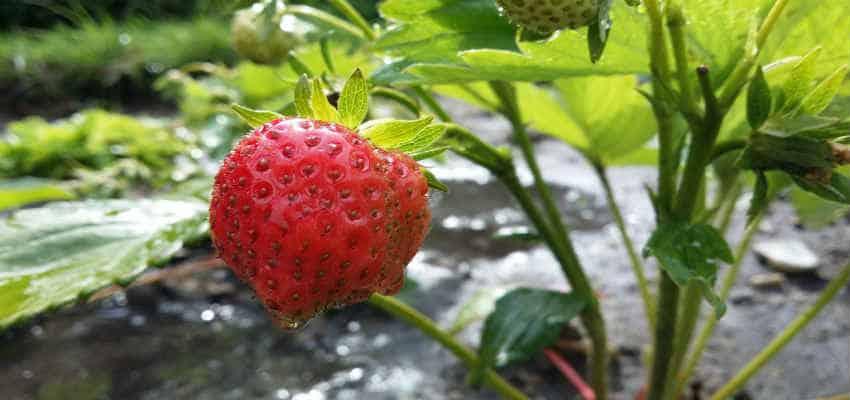 jordbær planter pris