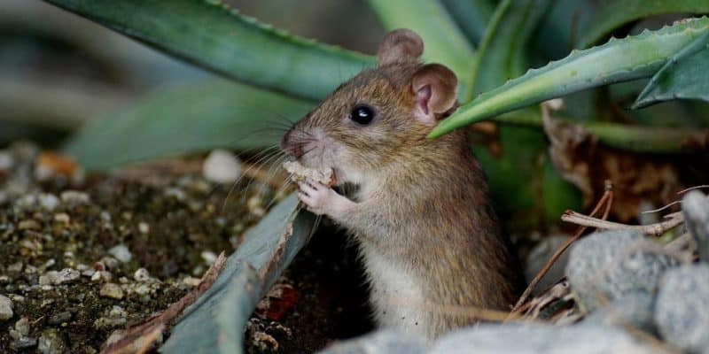 Mus og skadedyr i haven? Tips til at forebygge mod skadedyr