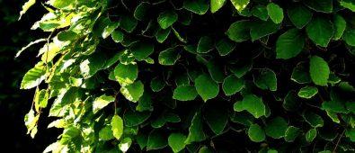 Plante hæk – Hvad og hvordan du planter ny hæk i haven