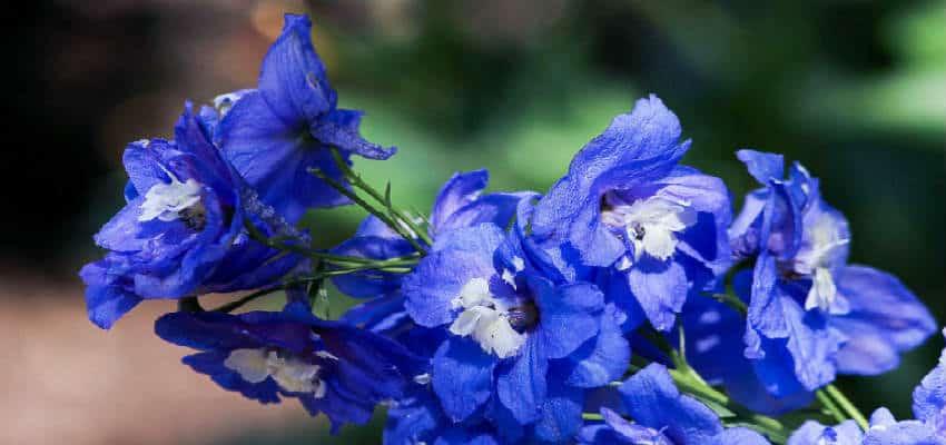 Plant et bed med smukke blå stauder