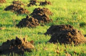 Muldvarpebekæmpelse i haven guide