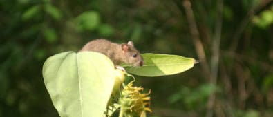 Rottebekæmpelse – Hvordan du slipper for rotter i have & hus